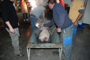 A pig is killed and skinned at a traditional Matanza in Southern Spain