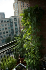 A trellis can be used for climbing plants. Credit: boboroshi, Flickr